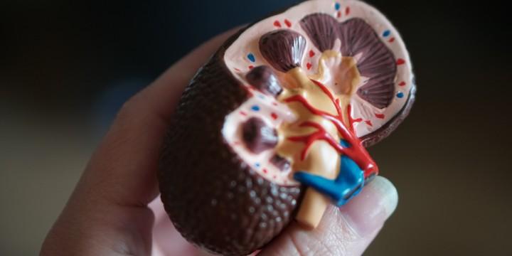 Understanding kidney function
